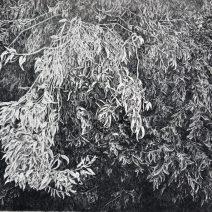falusiova - eucalyptus (3)d